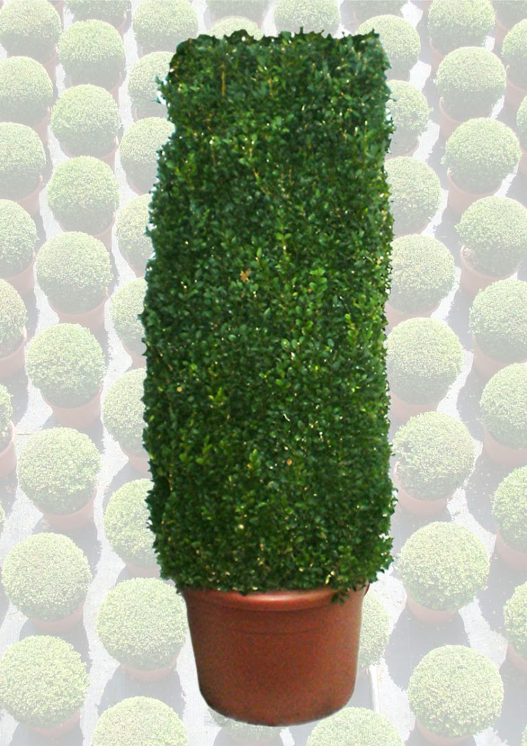 Buxus-zuil-50